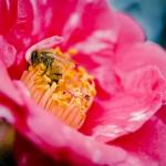 Camellias in Winter @ Descanso Gardens