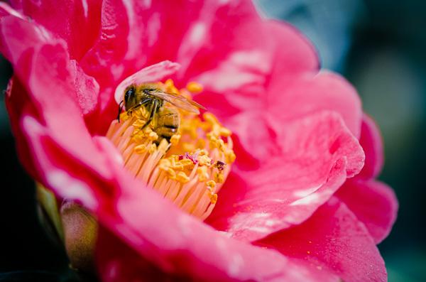Camellia Garden at Descanso Gardens